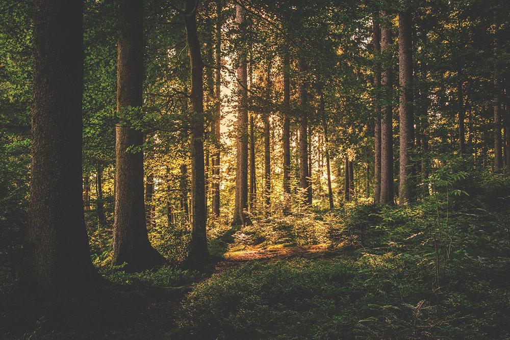 Bild zeigt einen Wald